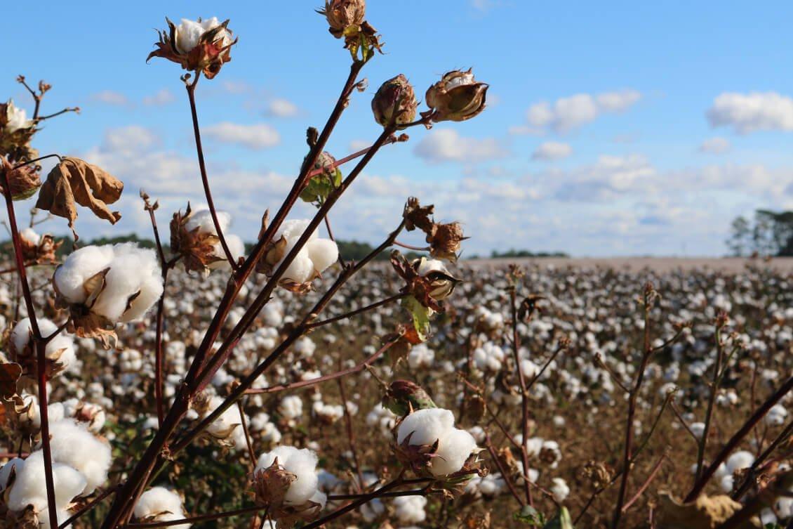 Foto eines Baumwollfeldes mit blauem Himmel